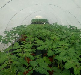 A plants eye view of the heated benches 40 feet long 4 feet wide and absolutely packed with plants.