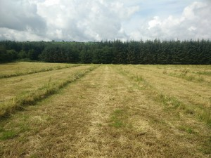 The alleys are being cut for silage initially in exchang for the manure and woodchips i am using as mulch