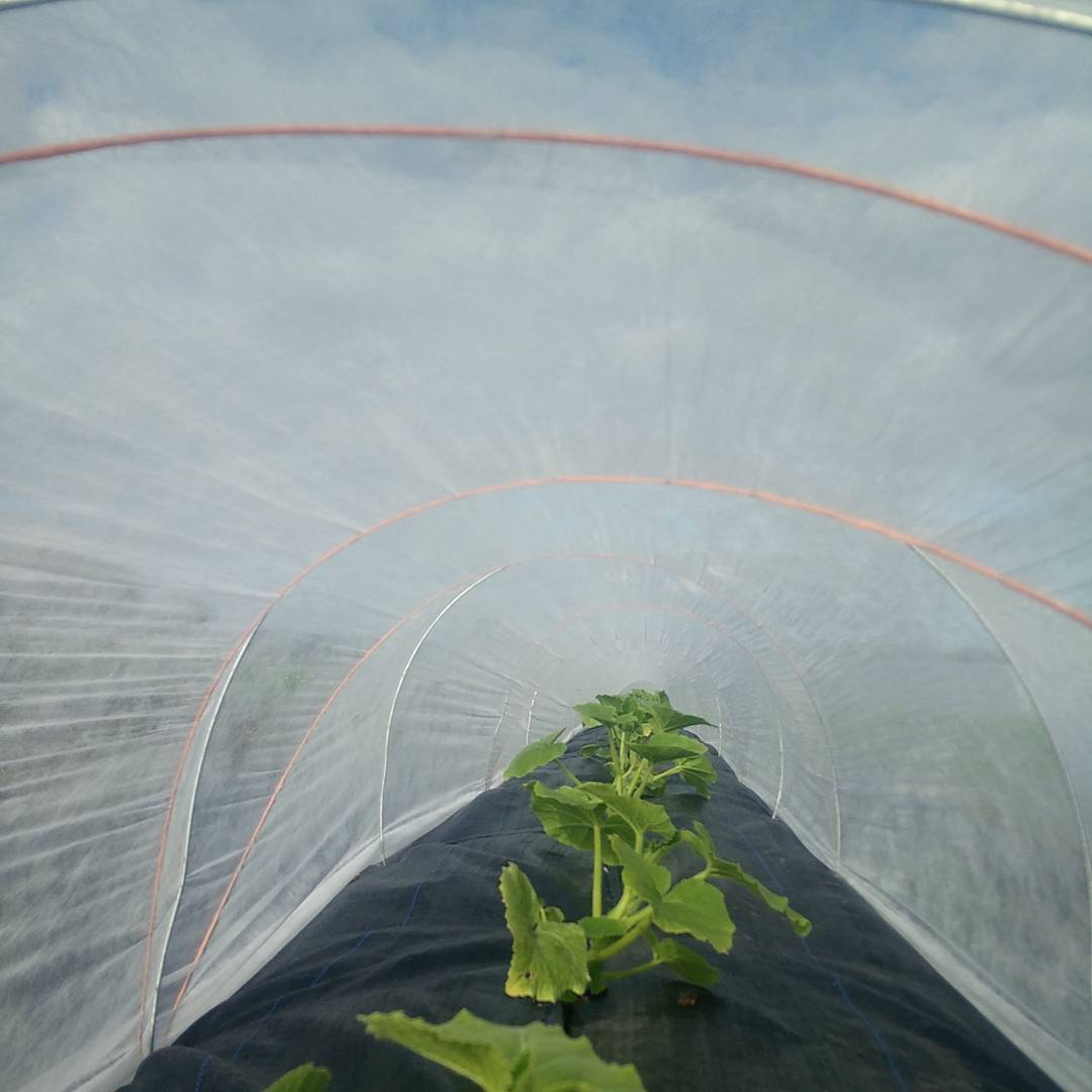 Squash plants tucked up safe for their first night in the big bad world