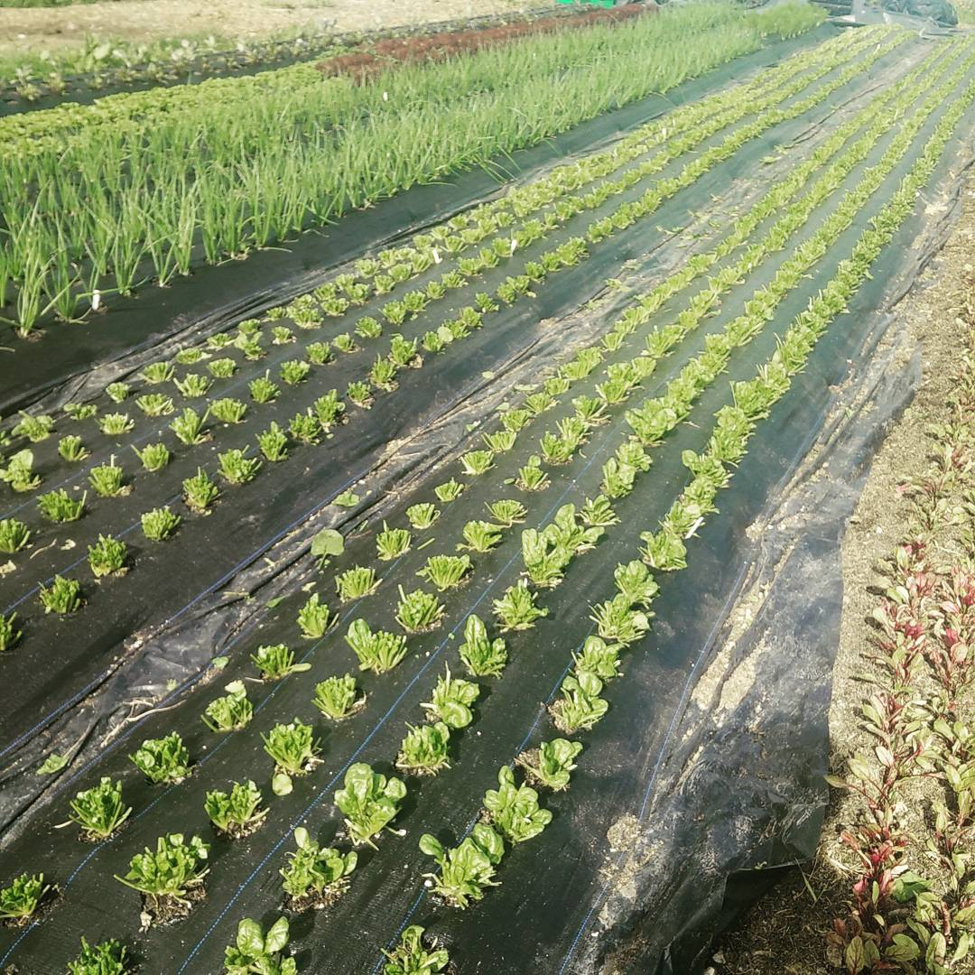 Freshly harvested spinach beds, ready to cut again next week