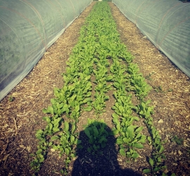 Tasty salad rocket, growing very well on these sunny days,  Almost ready for our buying club customers. See details in our bio
