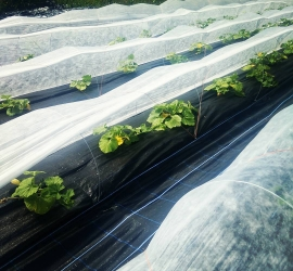 Winter squash are being pollinated and looking good