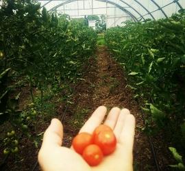 Beautiful cherry tomatoes